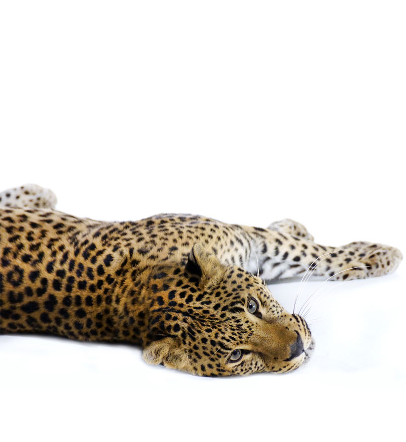 Paws 4 Africa Leopard | Meister Trading | The Cat Product Specialist